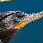 Cormorán andino (Phalacrocorax brasilianus)